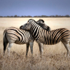 Types Of Zebras