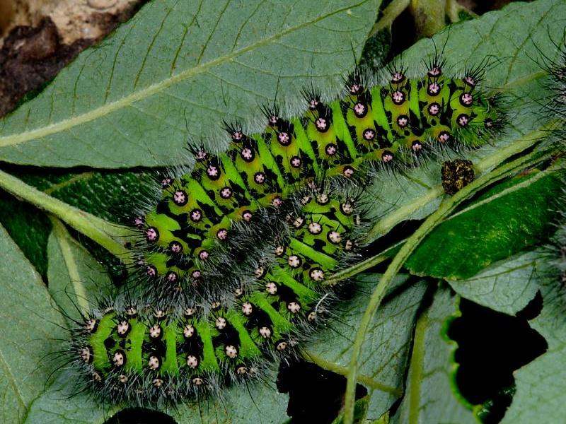 Types Of Caterpillars