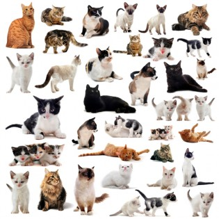 Types Of Domestic Cats