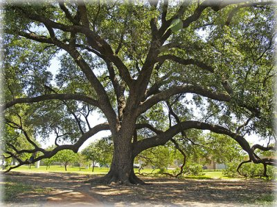 Types Of Oak Trees