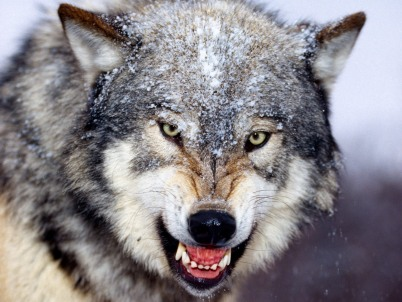 Types Of Wolves