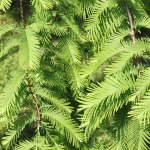 Types Of Conifers