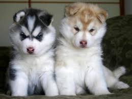 Types Of Huskies