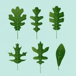 Types Of Oak Trees Leaves