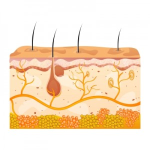 Types Of Cells Found In The Skin