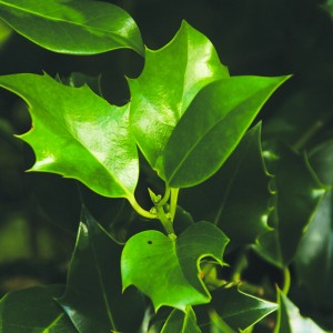 Types Of Holly Plants