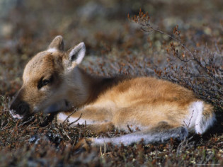 Types Of Animals That Live In The Tundra