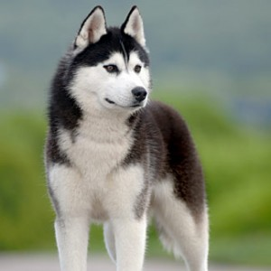 Types Of Husky Dog Breeds Types Of
