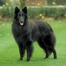 Types Of Large Dog Breeds