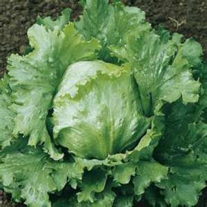 Types Of Lettuce Plants