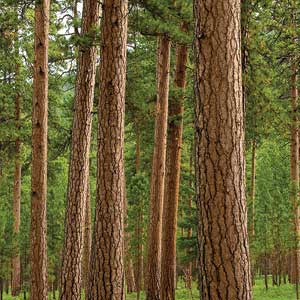 Types Of Trees Used For Lumber