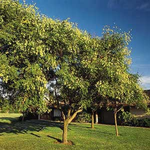 Types Of Yard Trees
